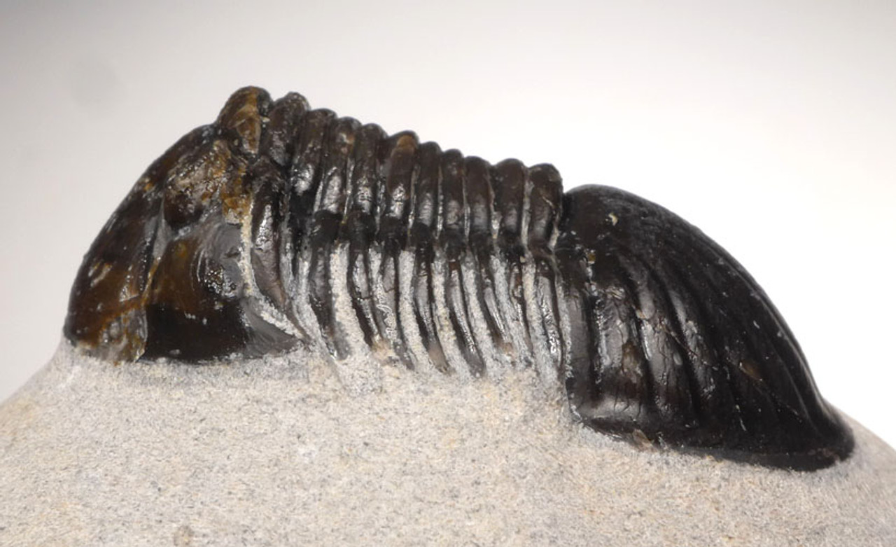 TRX400 - PARALEJURUS TRILOBITE FROM THE DEVONIAN PERIOD