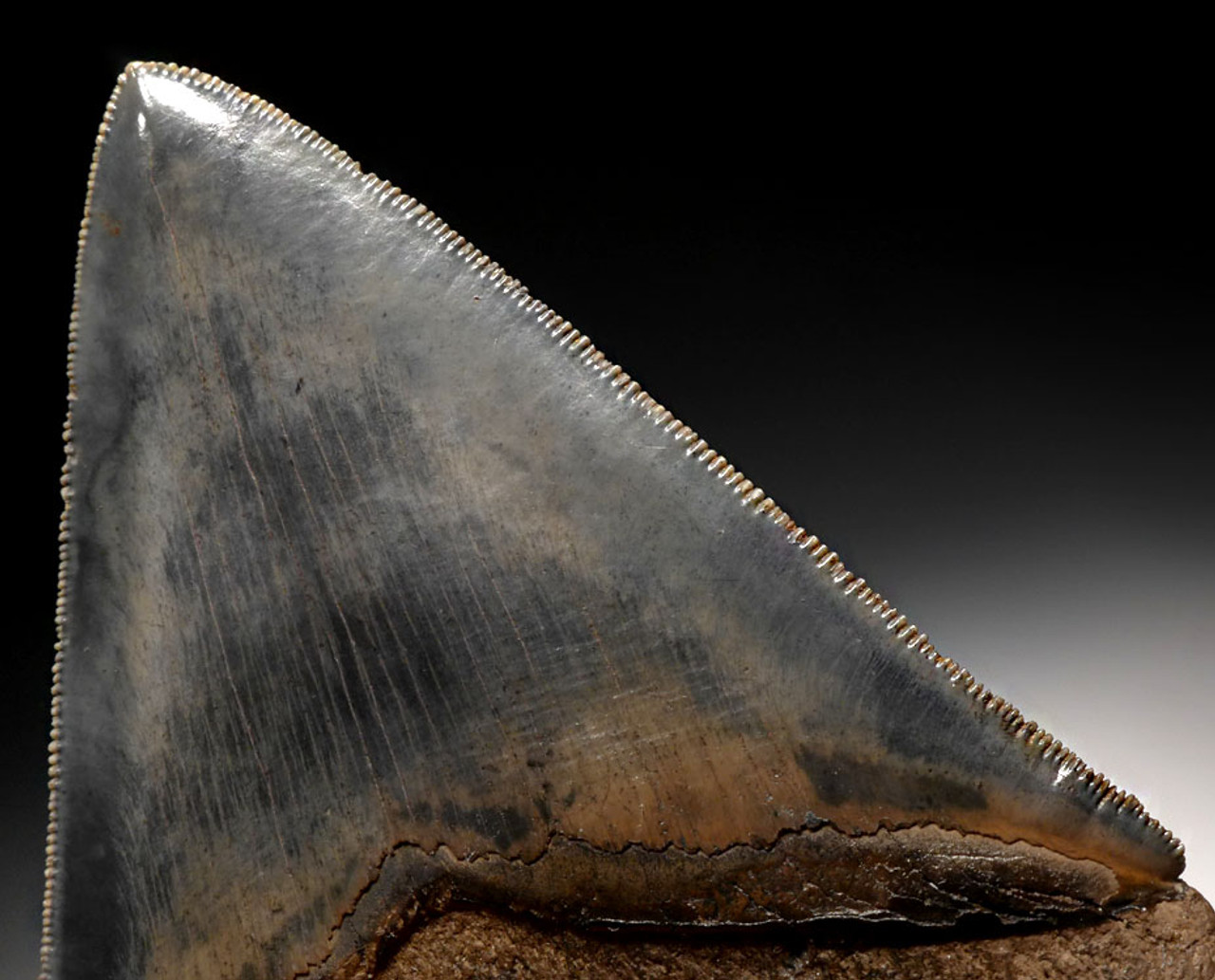 SH6-335 - FINEST GRADE 4.7 INCH MEGALODON TOOTH WITH BLUE-GRAY AND CREAM CHATOYANT ENAMEL