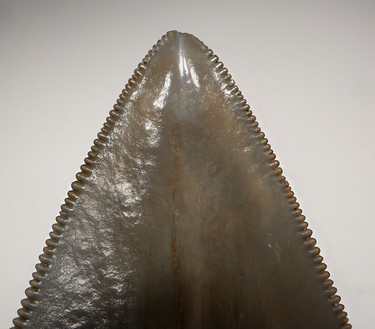 SH6-343 - FINEST GRADE 3.6 INCH SPOTTED BLUE-GRAY MEGALODON SHARK TOOTH