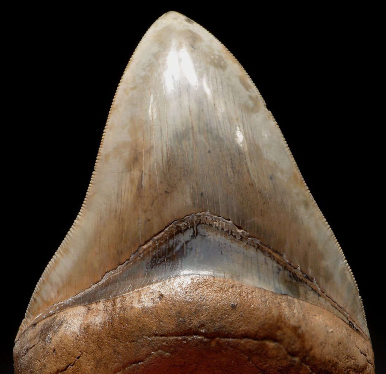 SH6-345 - INVESTMENT GRADE 4 INCH SPOTTED BLUE-GRAY MEGALODON SHARK TOOTH