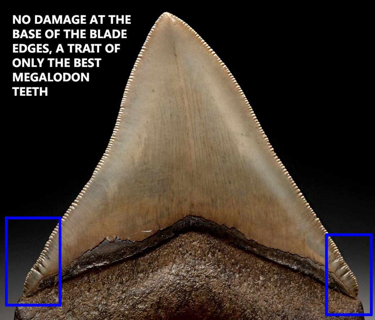 SH6-344 - FINEST GRADE 4.25 INCH MEGALODON FOSSIL SHARK TOOTH