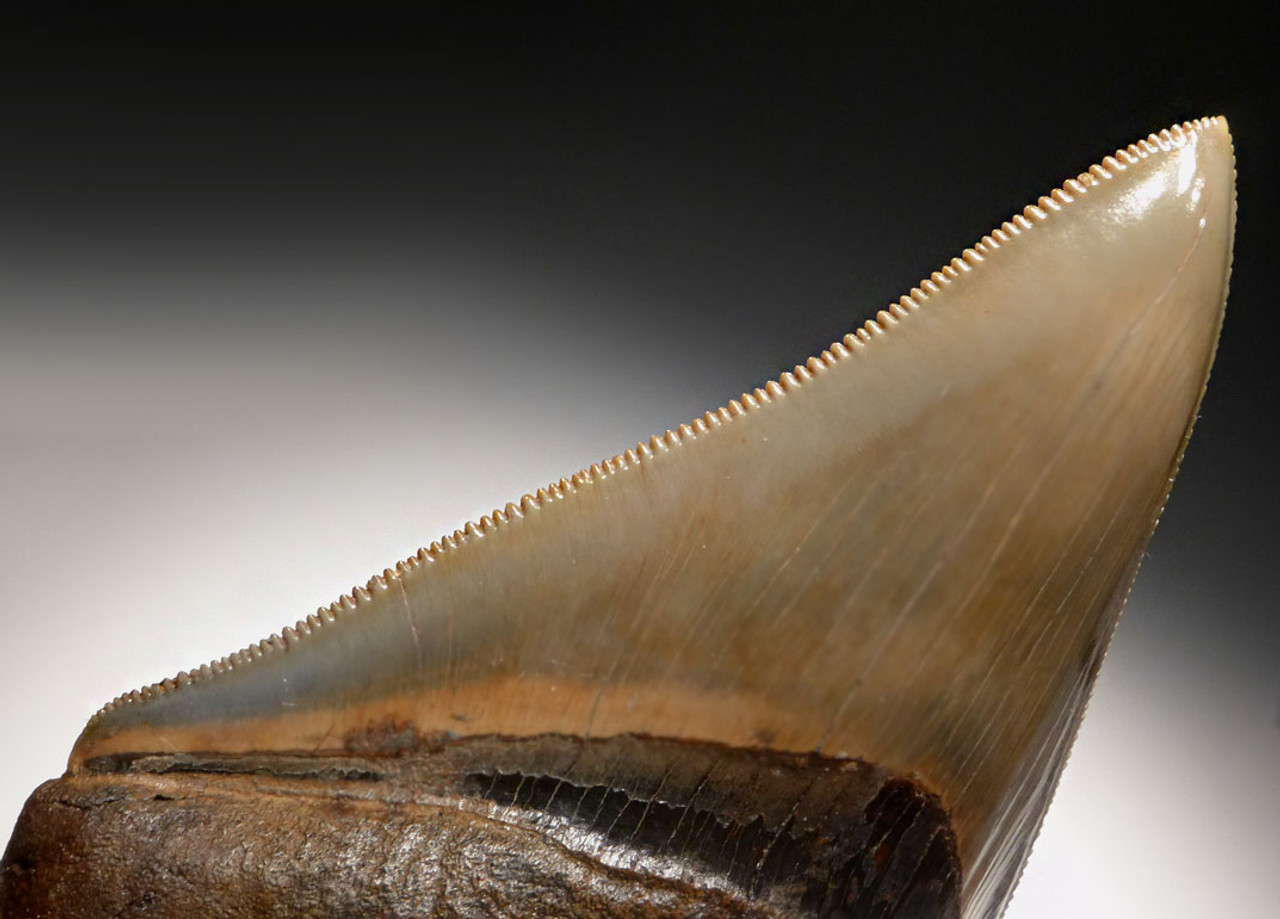 SH6-337 - FINEST GRADE 3.75 INCH MEGALODON SHARK TOOTH WITH MOTTLED BRONZE AND BLUE ENAMEL