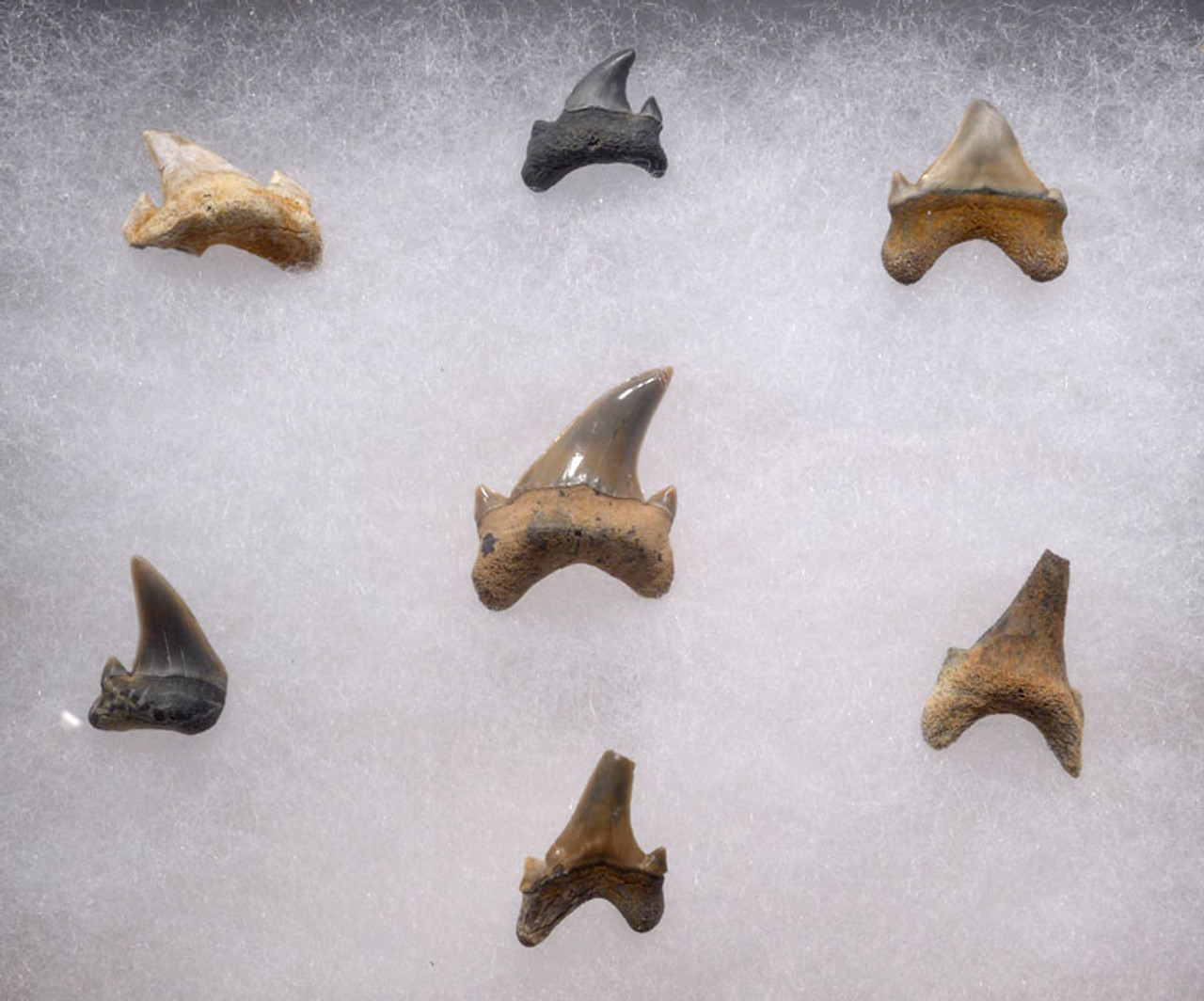 SHX035 - RARE SET OF DINOSAUR ERA CRETACEOUS FOSSIL SHARK TEETH FROM TWO MEDICINE FORMATION
