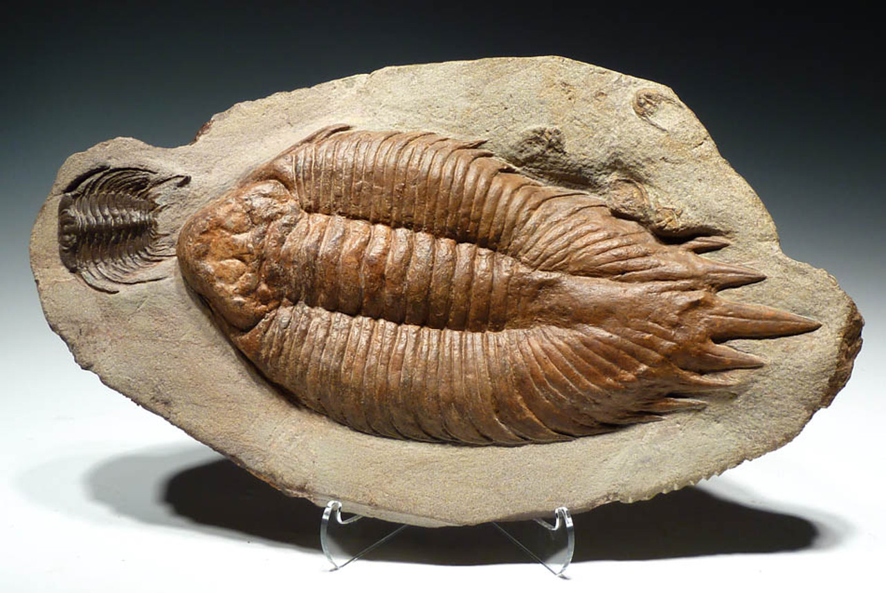 TRX053 - ONE OF ONLY FEW OF THIS TYPE KNOWN TO EXIST ULTRA RARE URALICHAS TRILOBITE CHASING A SELENOPELTIS TRILOBITE