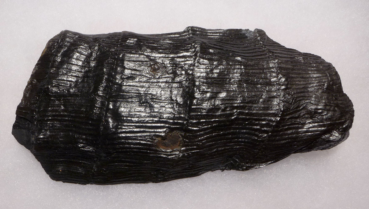 PL126 - LARGE CALAMITES HORSETAIL CARBONIFEROUS PLANT FOSSIL FROM POLAND REMOVED FROM HOST ROCK