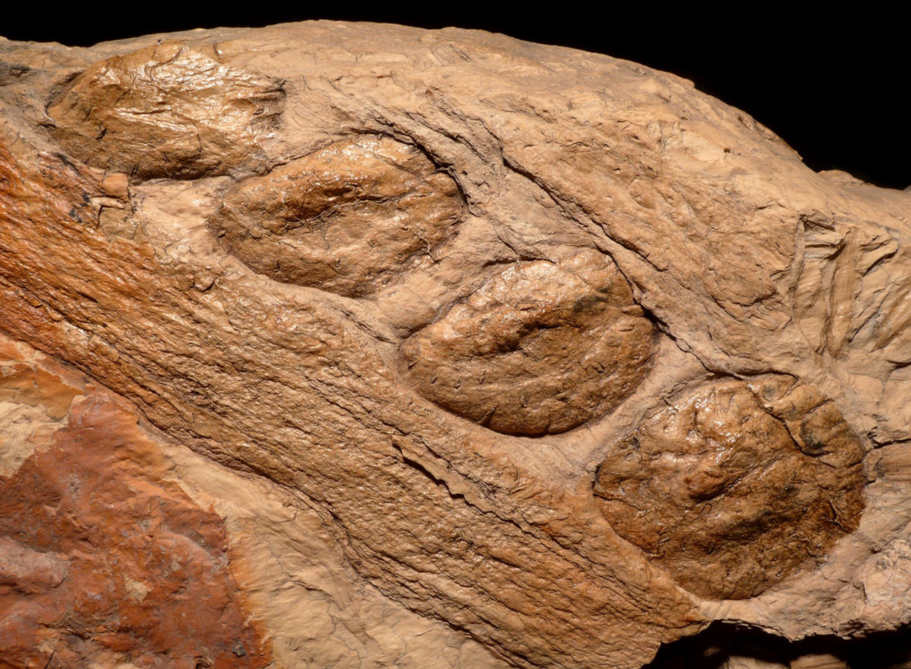 PL122 - ULTRA RARE LARGE ARTICULATED FOSSIL SEED PODS FROM A CARBONIFEROUS PLANT FROM POLAND