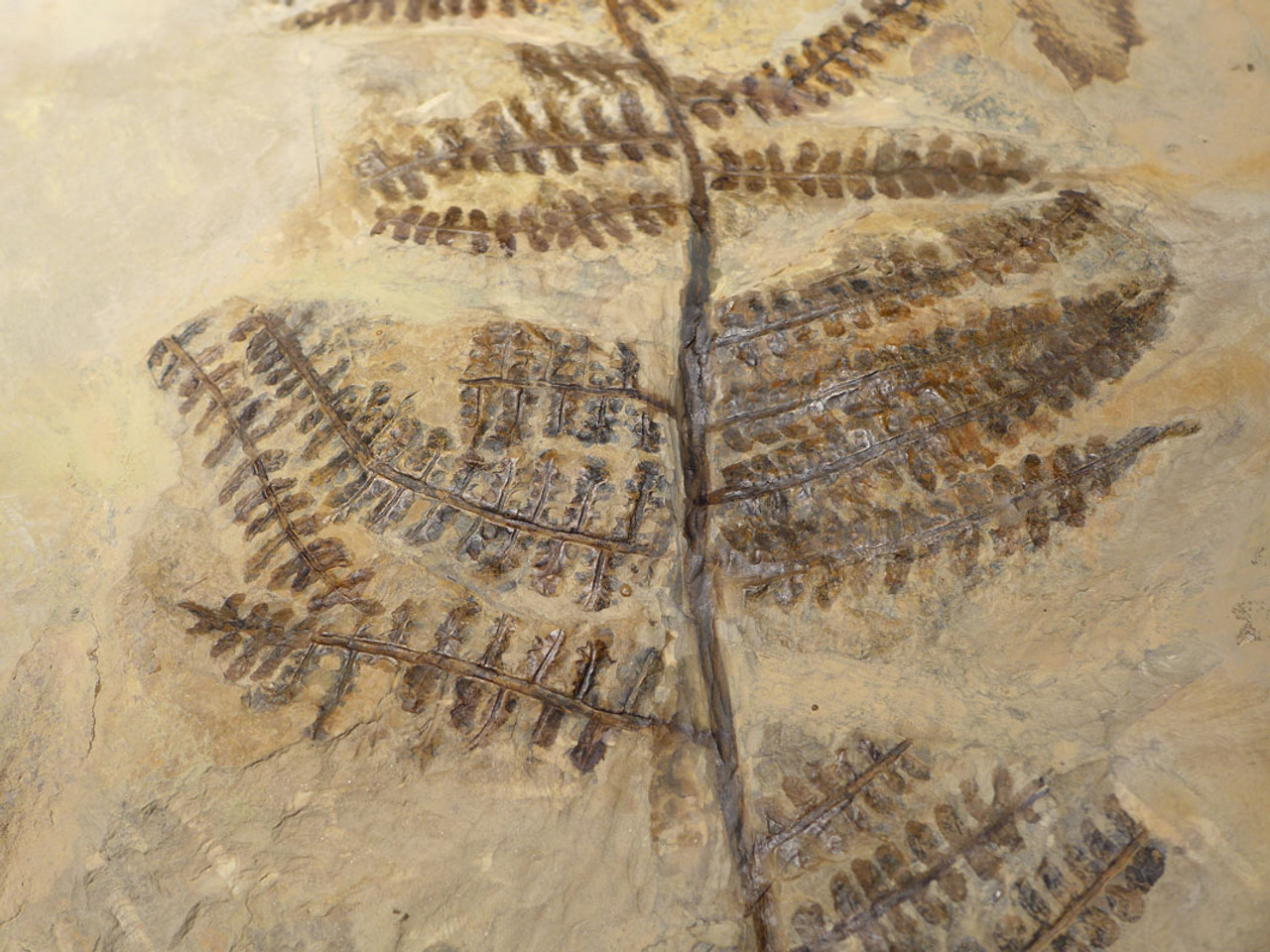 PLXF001 - SUPER RARE GIANT PECOPTERIS TREE FERN FOSSIL FROM THE PERMIAN PERIOD