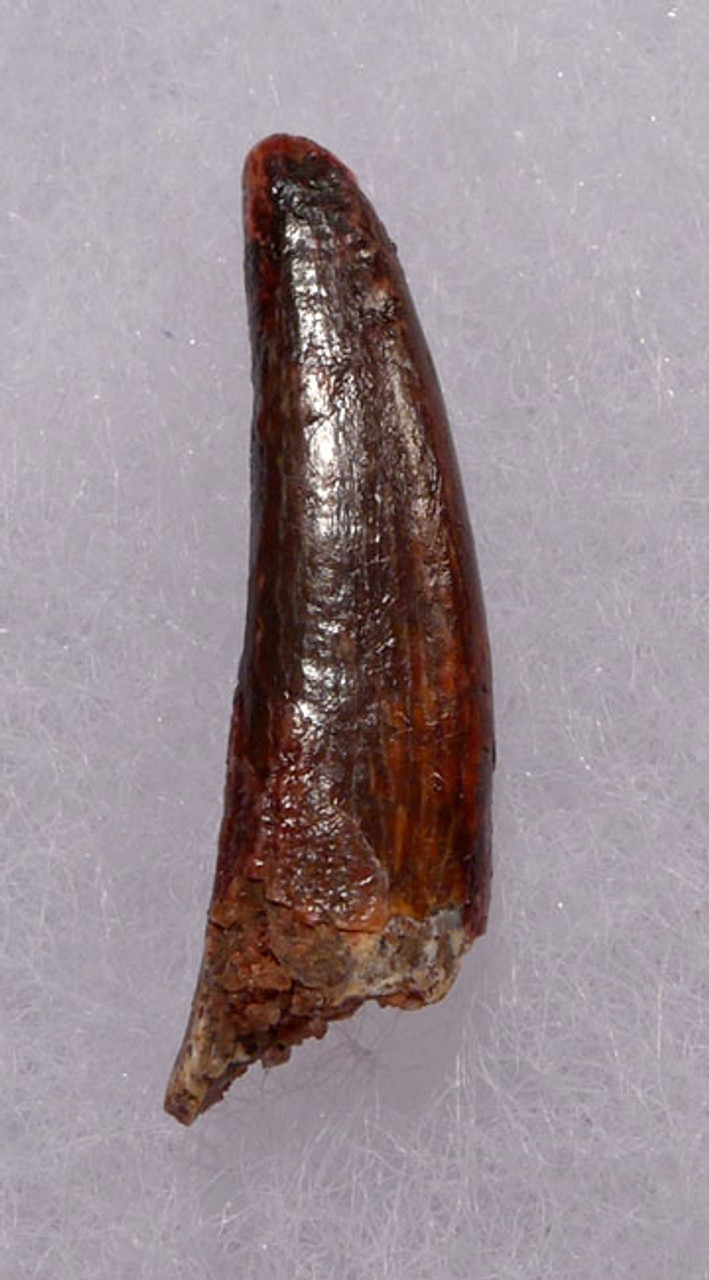 DT4-072 - CRETACEOUS PTERODACTYL PTEROSAUR TOOTH WITH SHARP TIP