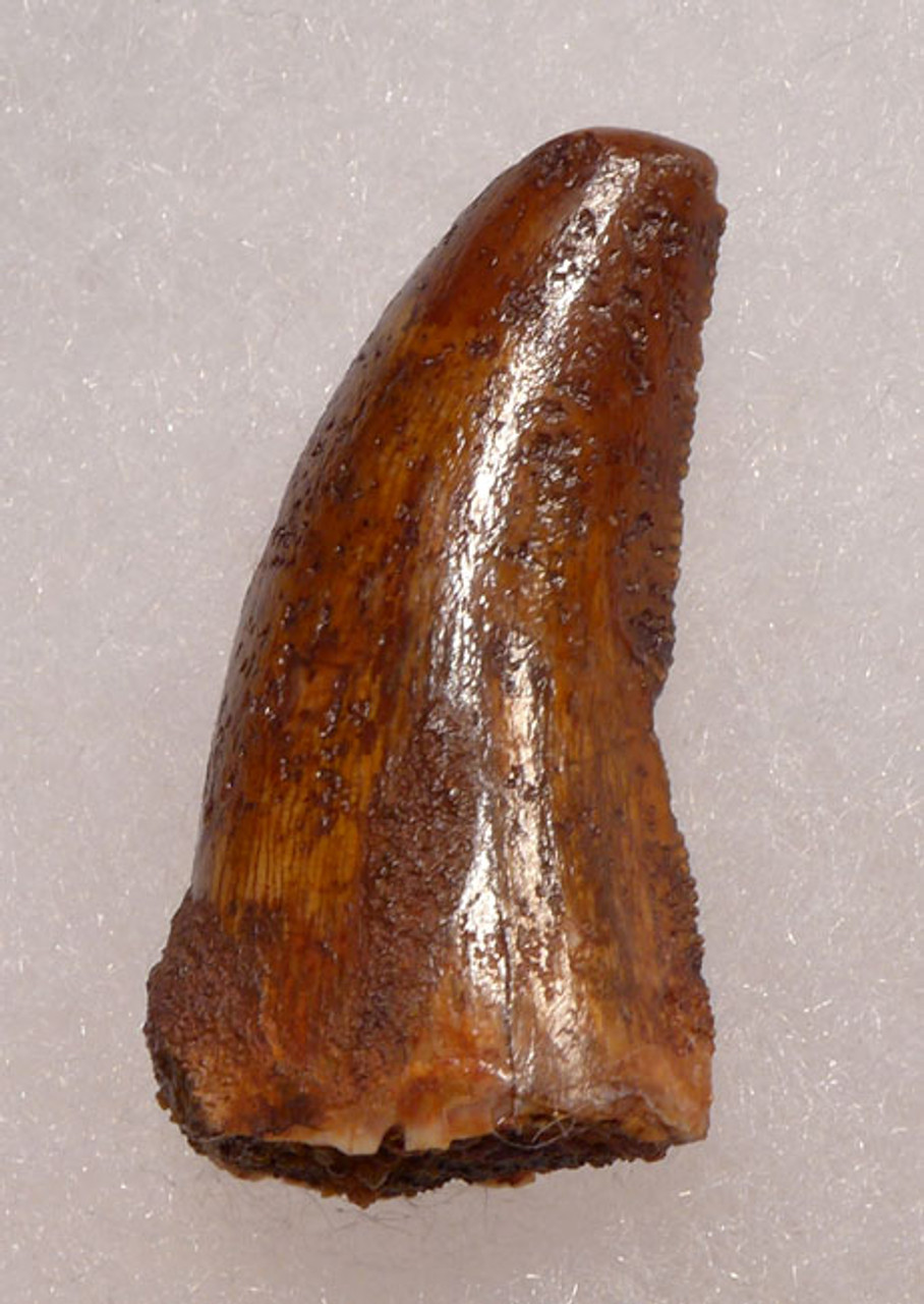 DT11-036 - UNBROKEN ANTERIOR DELTADROMEUS FOSSIL DINOSAUR TOOTH