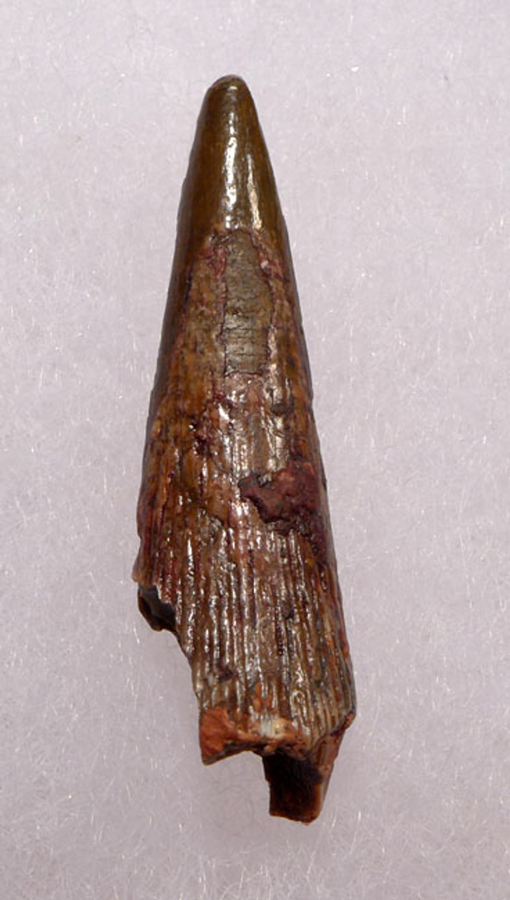 DT4-075 - CRETACEOUS PTERODACTYL PTEROSAUR TOOTH WITH SHARP TIP