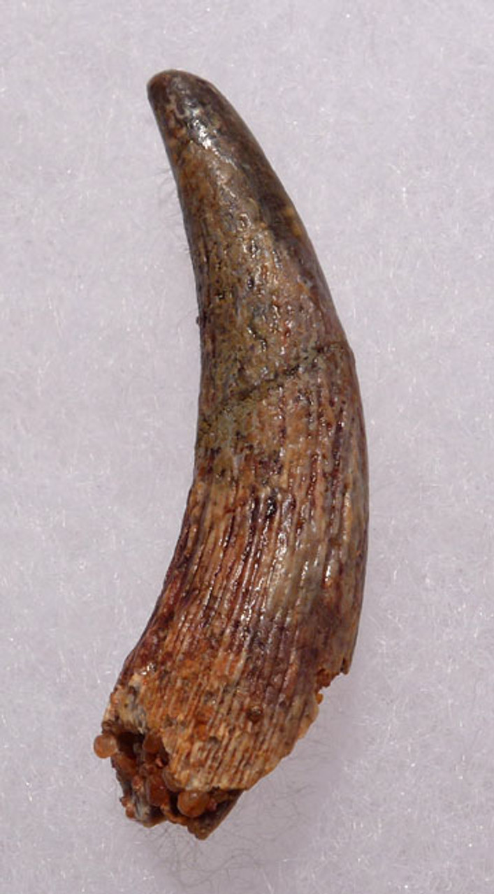 DT4-078 - ANTERIOR CRETACEOUS PTERODACTYL PTEROSAUR TOOTH WITH SHARP TIP