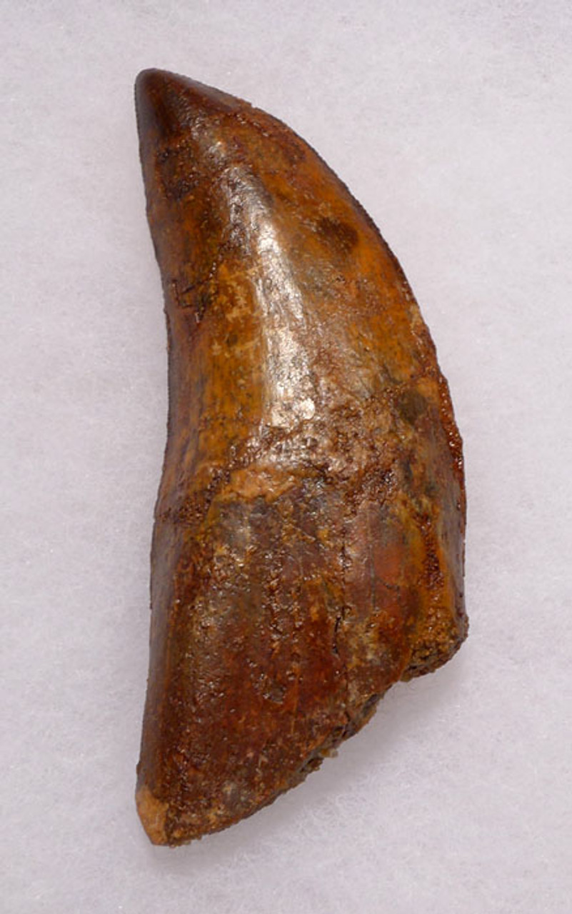 DT2-063 - BEAUTIFUL LARGE 3.5 INCH CARCHARODONTOSAURUS DINOSAUR TOOTH WITH PARTIAL ROOT