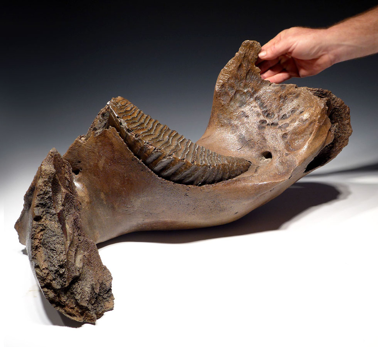 LARGE EUROPEAN WOOLLY MAMMOTH JAW WITH HUGE MOLAR IN FINEST PRESERVATION *WMX002
