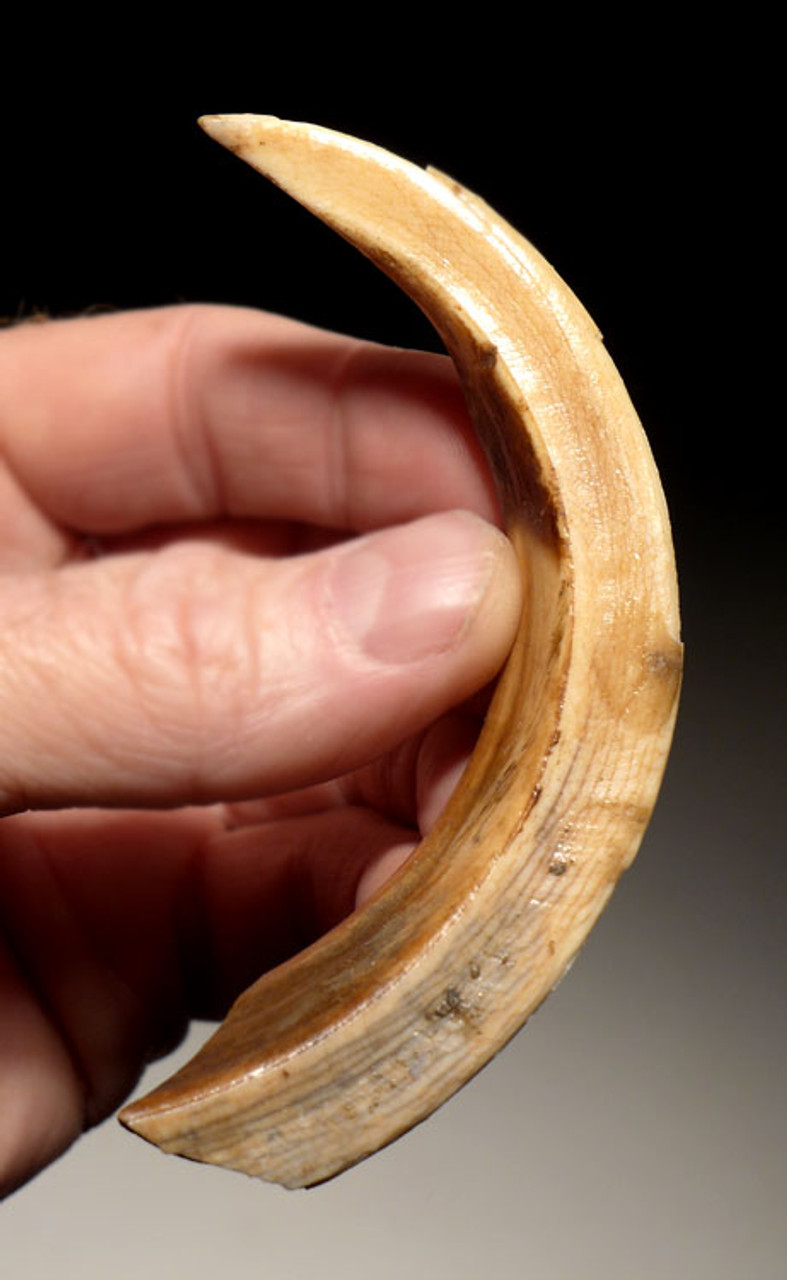 LMX161 - EUROPEAN ICE AGE WILD BOAR UPPER AND LOWER TUSK FOSSILS