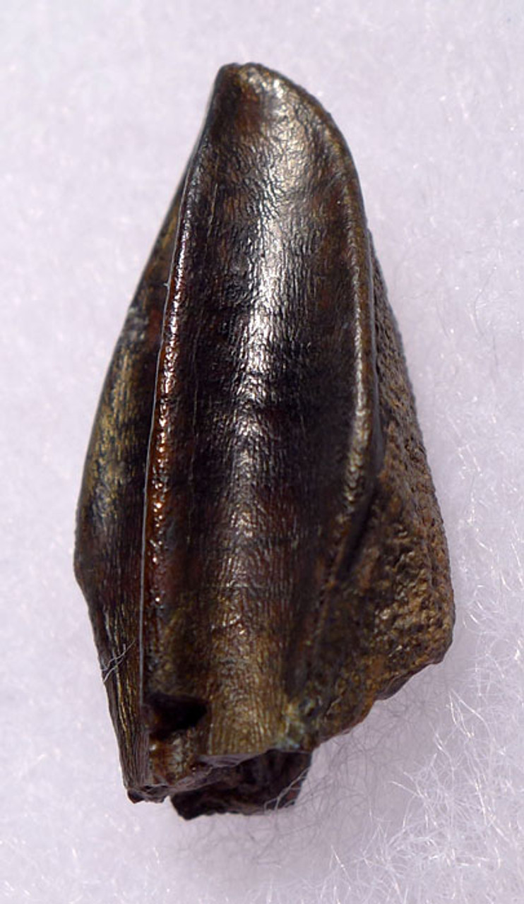 DT70-014 - FINEST LARGE EDMONTOSAURUS HADROSAUR DINOSAUR TOOTH WITH UNWORN CROWN