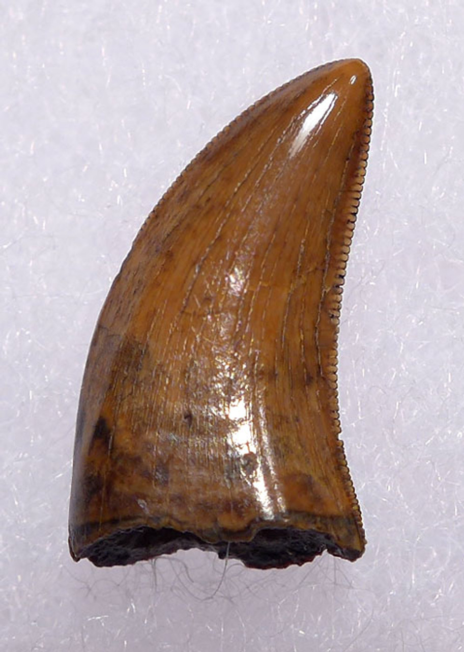 """DT6-248 - FINEST QUALITY DROMAEOSAURUS """"RAPTOR"""" DINOSAUR TOOTH FROM TWO MEDICINE FORMATION"""
