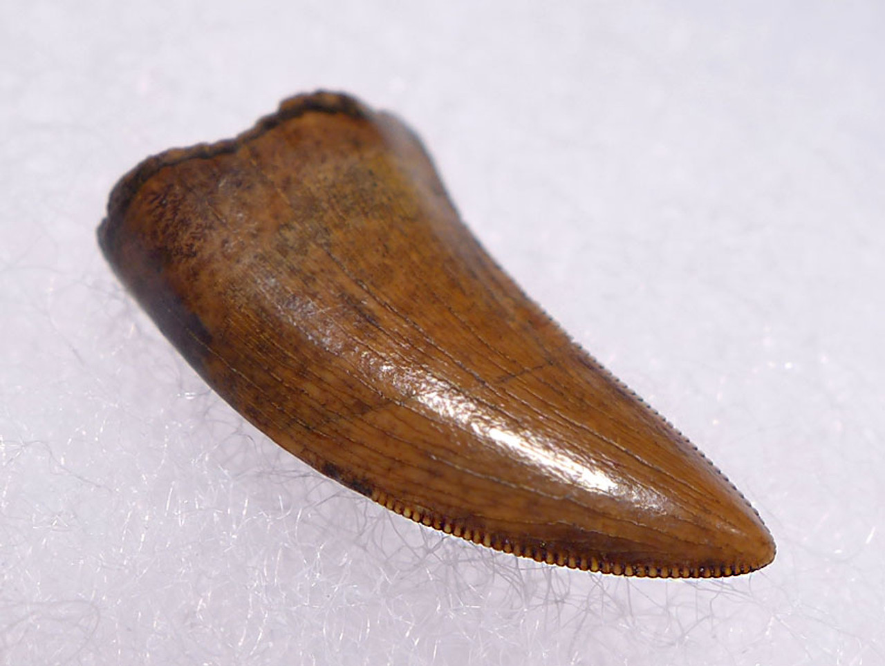"DT6-248 - FINEST QUALITY DROMAEOSAURUS ""RAPTOR"" DINOSAUR TOOTH FROM TWO MEDICINE FORMATION"