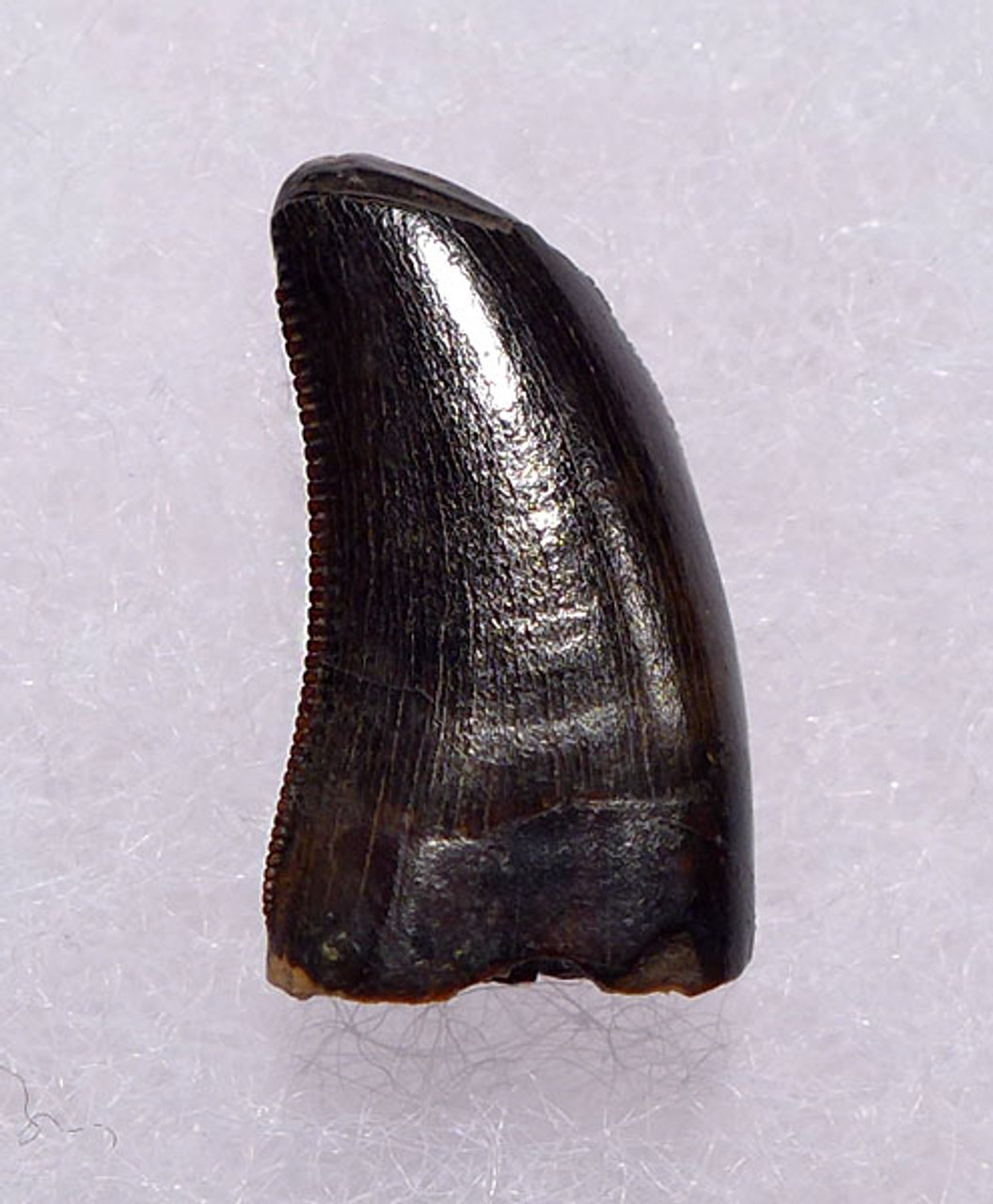 "DT6-249 - CHOICE QUALITY DROMAEOSAURUS ""RAPTOR"" DINOSAUR TOOTH FROM TWO MEDICINE FORMATION"