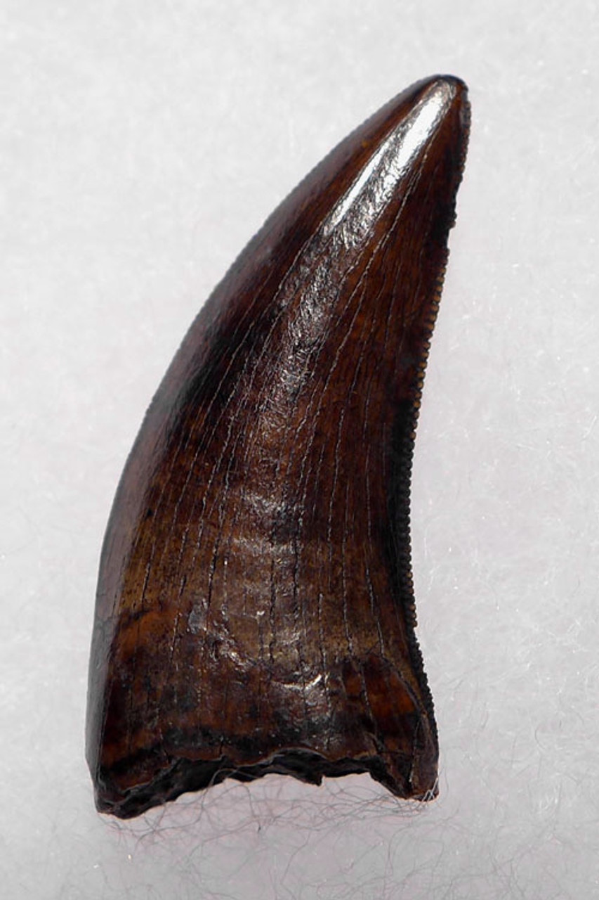 "DT6-251 - CHOICE SUPER RARE GIANT DAKOTARAPTOR DROMAEOSAUR ""RAPTOR"" DINOSAUR TOOTH FROM HELL CREEK"