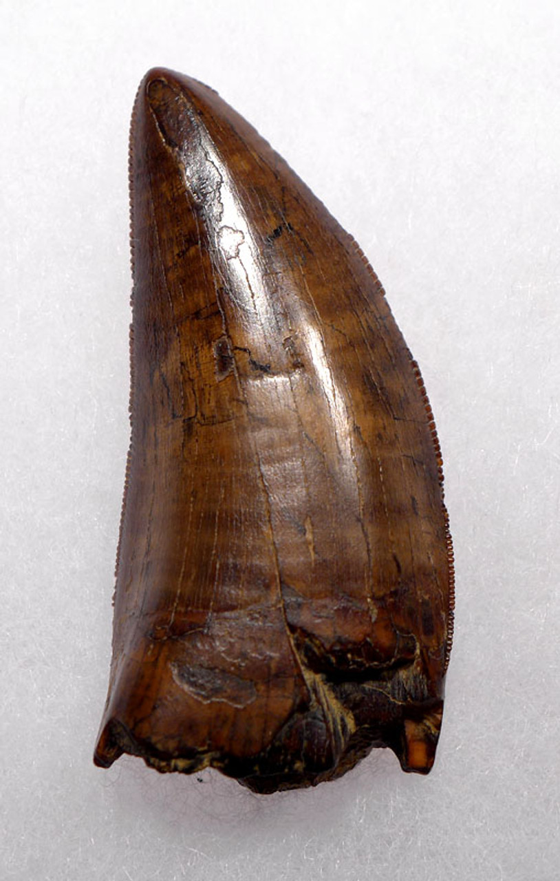 DT18-097 - INVESTMENT GRADE UNBROKEN 2.45 INCH TYRANNOSAURUS REX TOOTH WITH CHOICE PRESERVATION