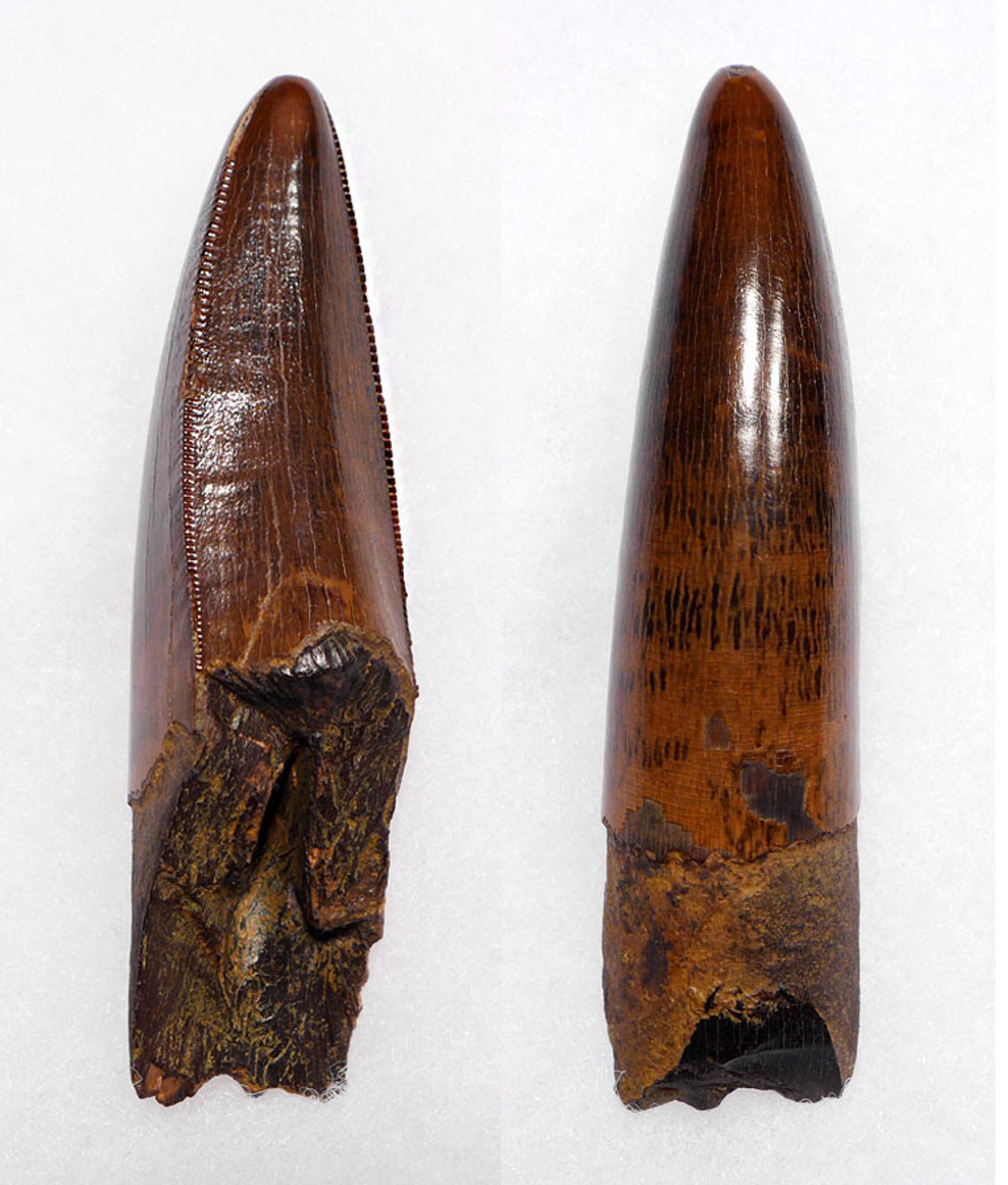 DT18-096 - ULTRA RARE 3.35 INCH LARGE INVESTMENT GRADE TYRANNOSAURUS REX TOOTH