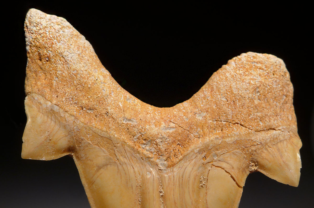 OT011 - PAIR OF LARGE FOSSIL MACKEREL SHARK OTODUS TEETH WITH UNRESTORED ROOTS AND CHOICE PRESERVATION