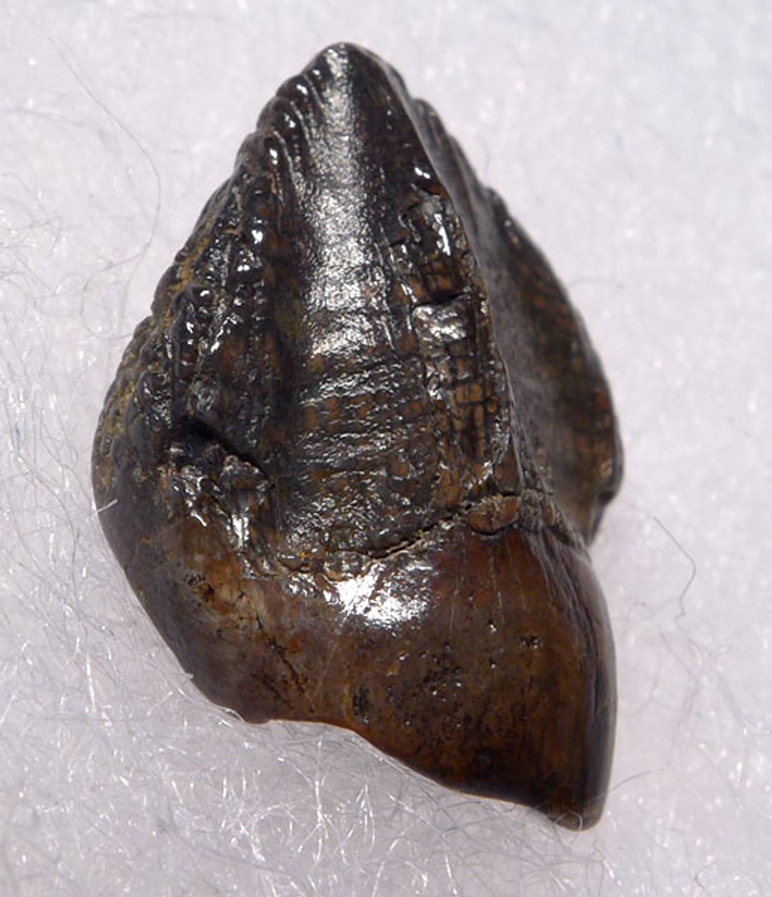 DT19-059 - SUPERB TRICERATOPS DINOSAUR TOOTH FULL CROWN