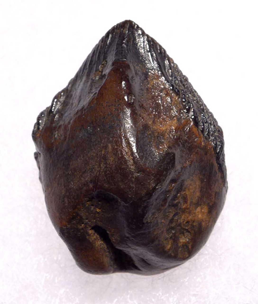 DT19-060 - HUGE FINEST QUALITY TRICERATOPS DINOSAUR TOOTH FULL CROWN
