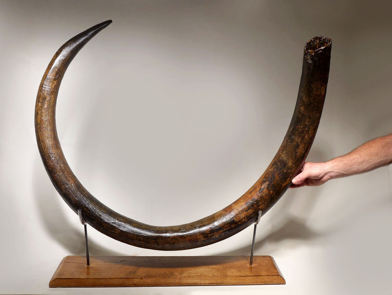 MT029 - OUR FINEST EVER CIRCULAR WOOLLY MAMMOTH TUSK FROM EUROPE EXCEEDING 7 FEET IN LENGTH