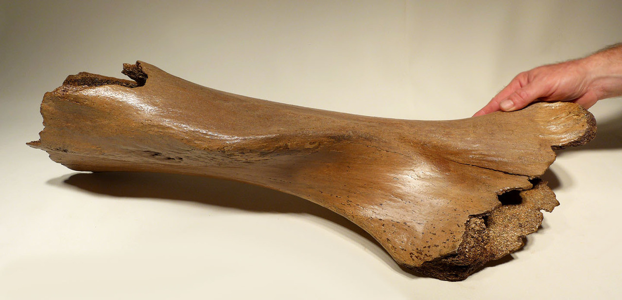 LMX163 - PARTIAL WOOLLY MAMMOTH FOSSIL HUMERUS ARM BONE