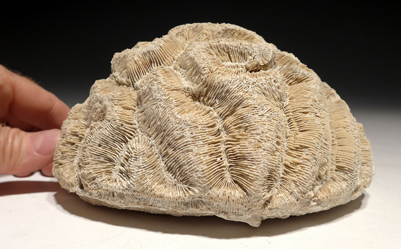 COR125 - LARGE PREHISTORIC BRAIN-LIKE CORAL FOSSIL COLONY FROM THE PLIOCENE