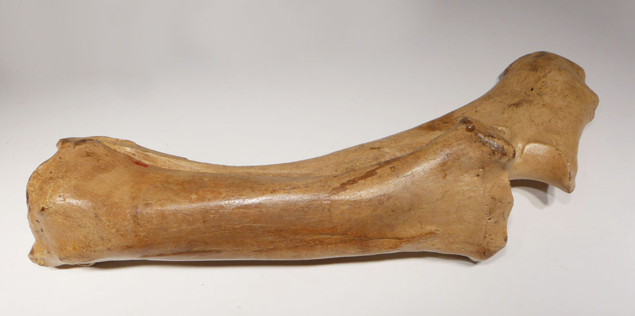 LMX141 - ICE AGE AUROCHS FOSSIL RADIO ULNA LIMB BONE WITH FINEST LIGHT COLOR PRESERVATION