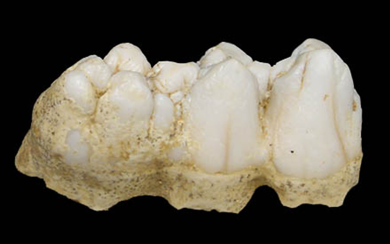 LM41-010 - EUROPEAN FOSSIL WILD BOAR COMPLETE MAIN MOLAR FROM CAVE HYENA DEN