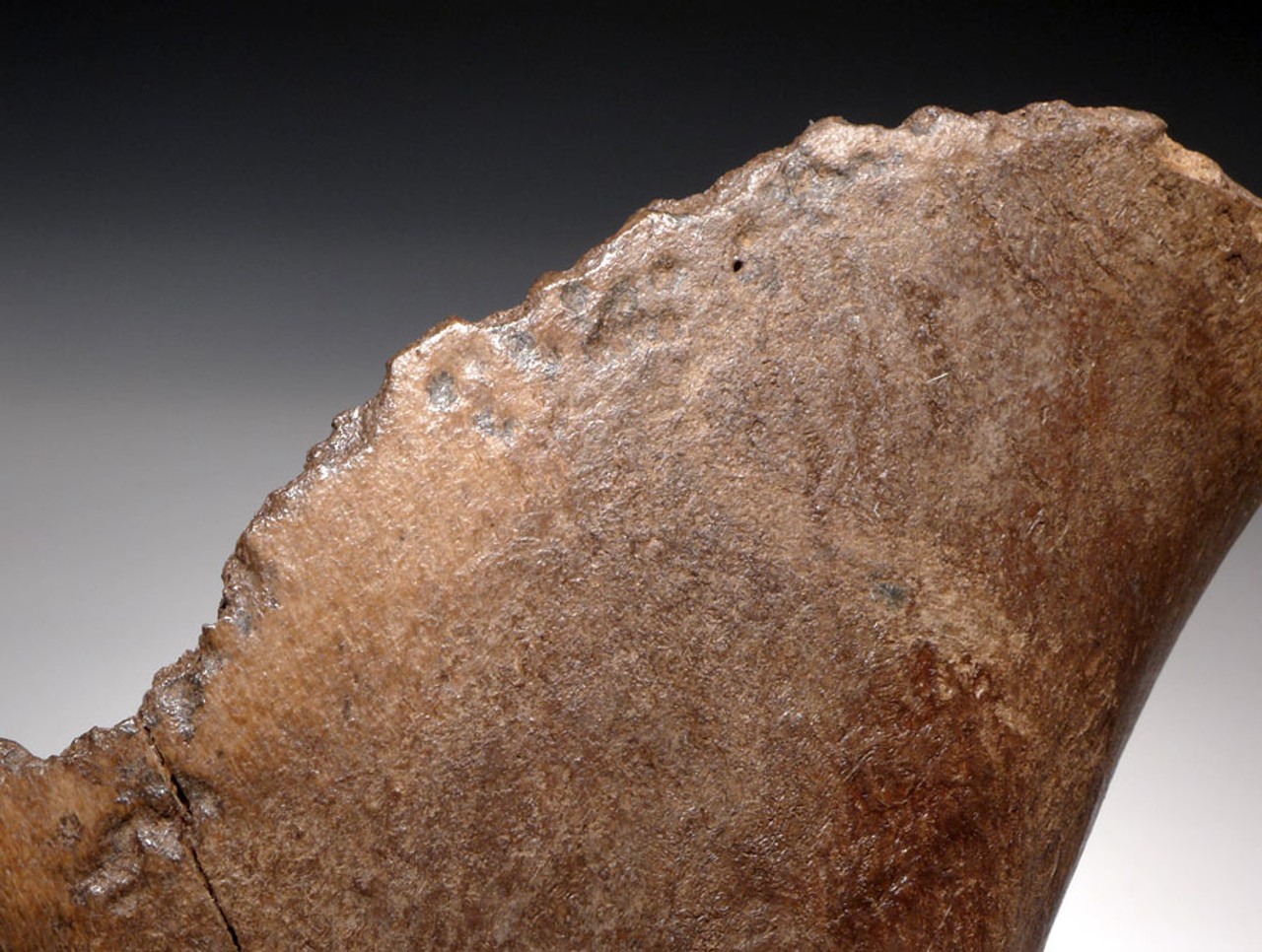 LMX096  - FOSSIL WOOLLY RHINOCEROS PARTIAL HUMERUS BONE EATEN BY GIANT CAVE HYENAS WITH EXTENSIVE BITE MARKS THROUGHOUT