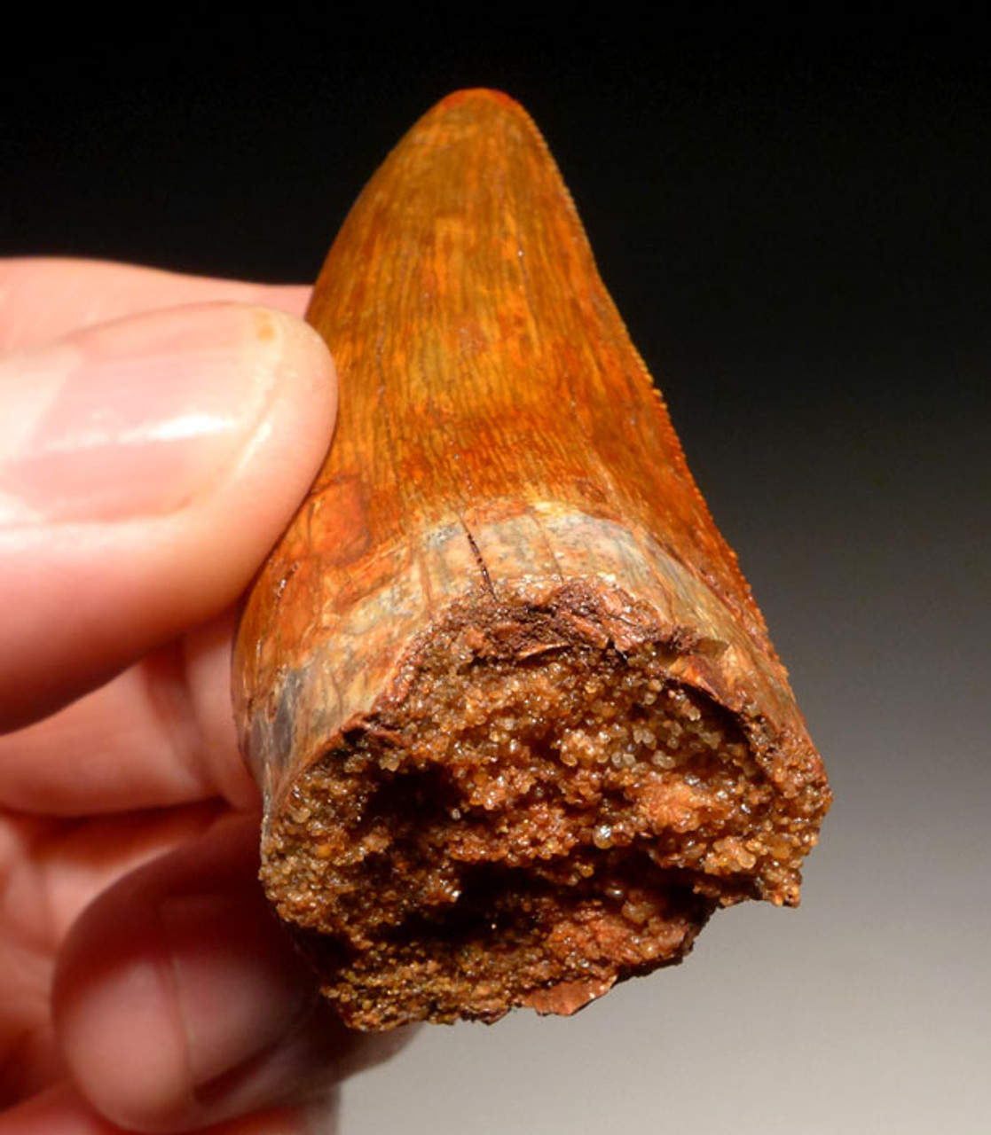 DT2-065 - SUPREME GRADE UNBROKEN 2.25 INCH CARCHARODONTOSAURUS DINOSAUR FOSSIL TOOTH FROM THE FRONT OF THE JAW