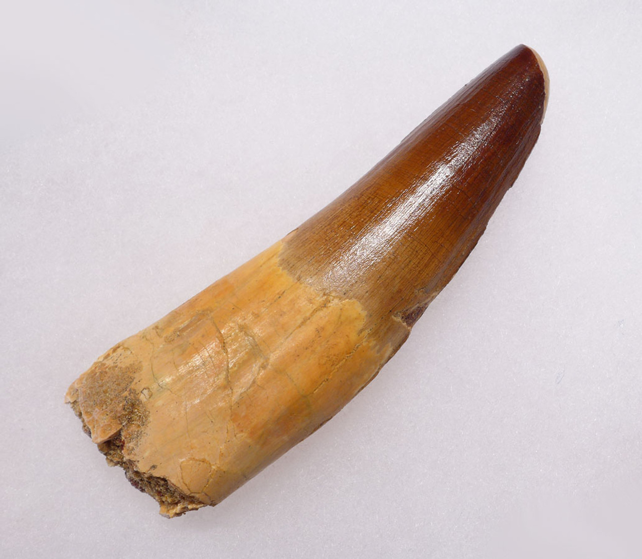 DT5-167 - EXTREMELY RARE UNBROKEN 4.5 INCH SPINOSAURUS TOOTH FROM ENORMOUS DINOSAUR