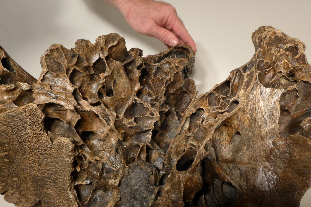 LMX160 - MUSEUM CLASS LARGE WOOLLY MAMMOTH PARTIAL SKULL WITH COMPLETE MAXILLA AND ORIGINAL MOLAR TEETH
