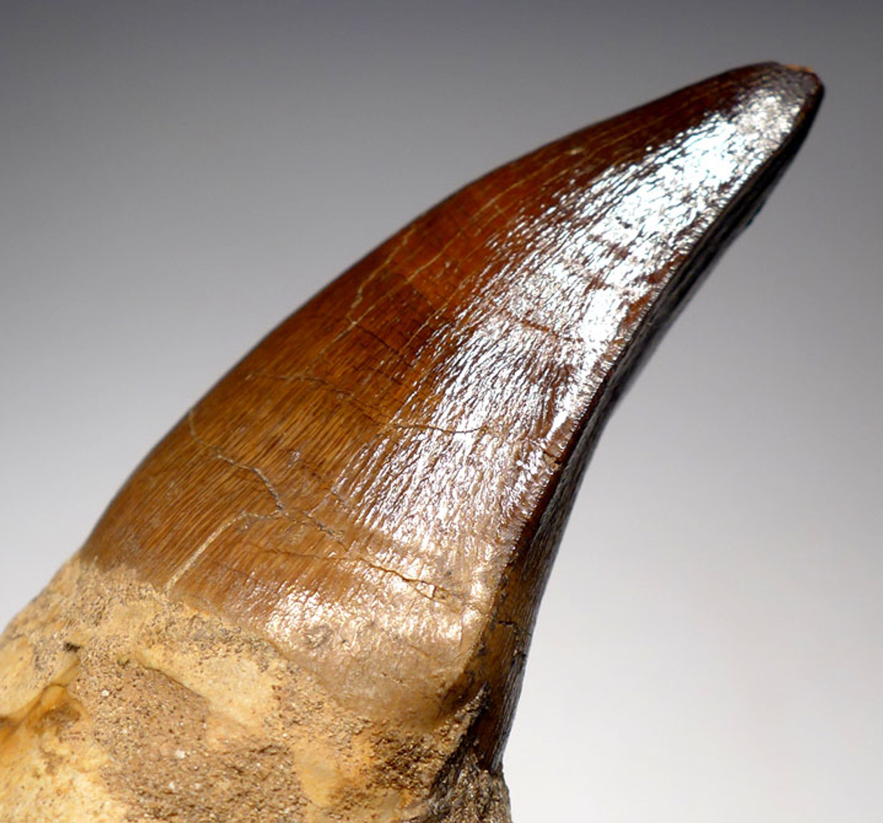 DT1XX02 - LARGE MOSASAUR TOOTH WITH ORIGINAL ROOT AND JAW BONE