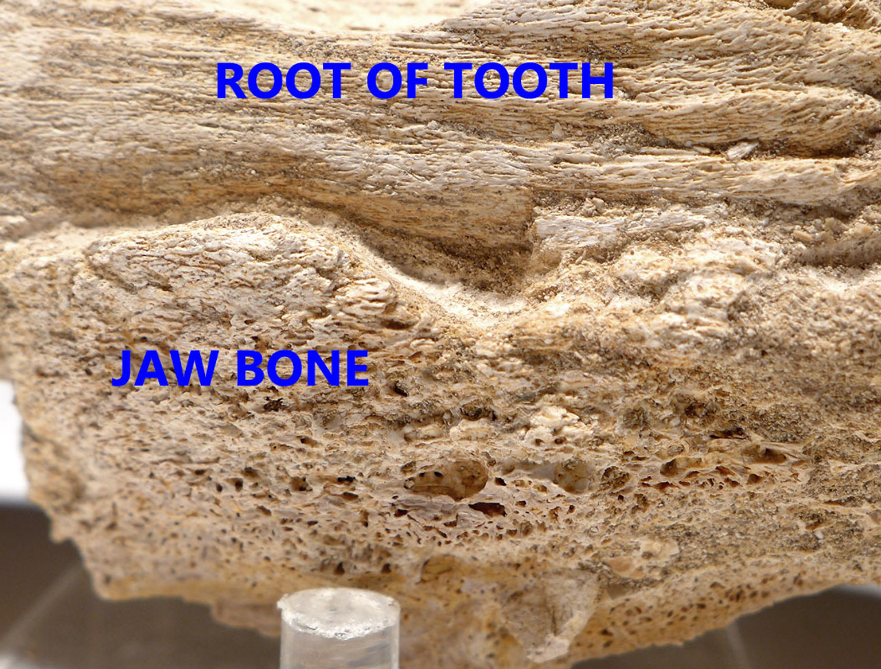 DT1XX01 - MONSTROUS MOSASAUR TOOTH WITH ORIGINAL ROOT AND JAW BONE
