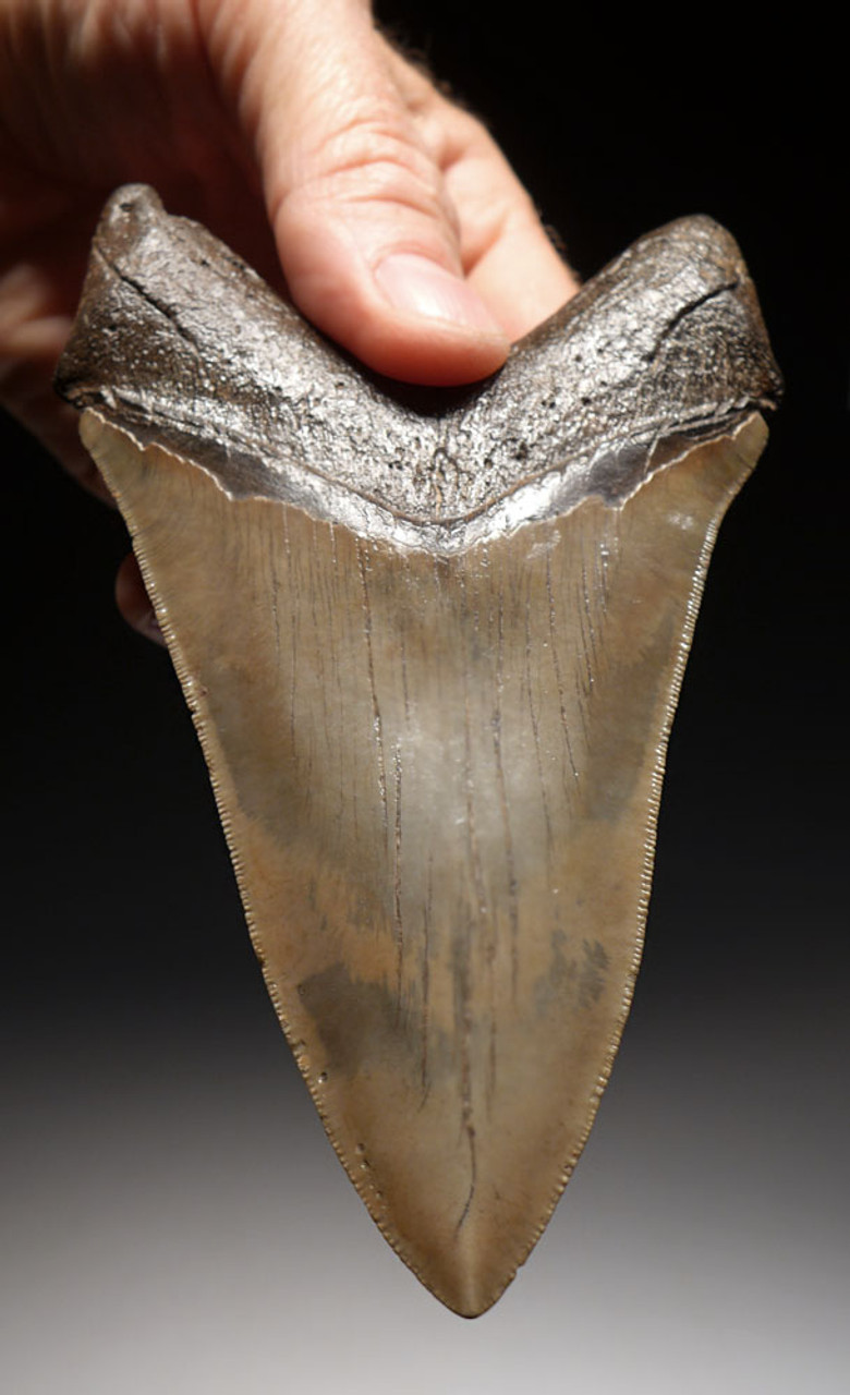 SH6-351 - CHOICE GRADE 5.35 INCH LOWER MEGALODON FOSSIL SHARK TOOTH WITH GOLD ENAMEL