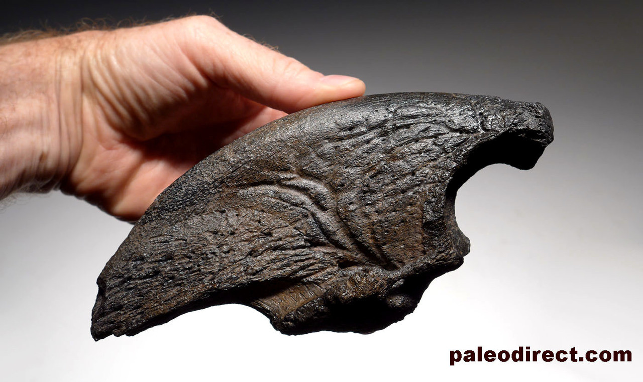LMX164 - MUSEUM CLASS NEARLY 9 INCH FOSSIL CLAW OF A MEGALONYX PREHISTORIC GIANT GROUND SLOTH