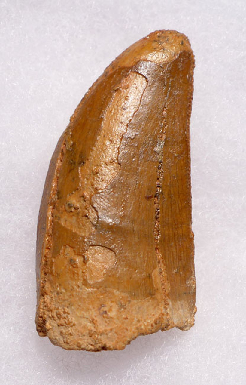 DT2-066 - LARGEST MEAT-EATING DINOSAUR CARCHARODONTOSAURUS FOSSIL TOOTH