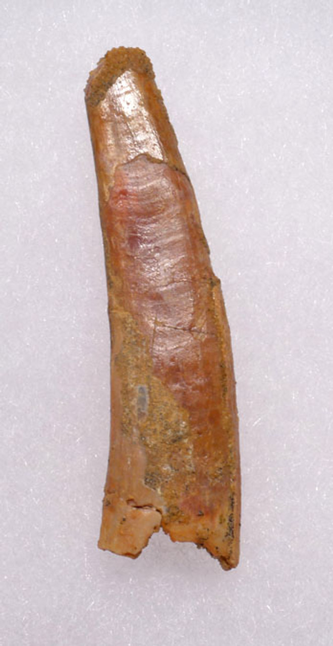 DT4-054 - HUGE 2.1 INCH PTEROSAUR PTERODACTYL FLYING REPTILE TOOTH