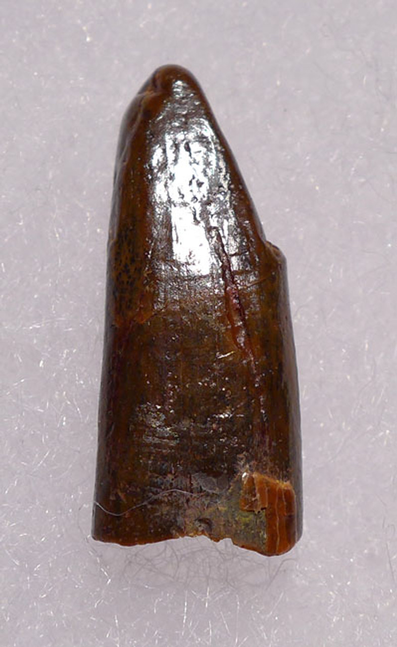 DT4-081 - CRETACEOUS PTERODACTYL PTEROSAUR FOSSIL TOOTH WITH FEEDING WEAR