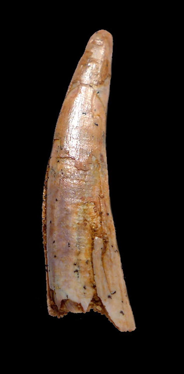 DT4-083 - FINEST GRADE GOLDEN FOSSIL TOOTH FROM A CRETACEOUS PTERODACTYL PTEROSAUR