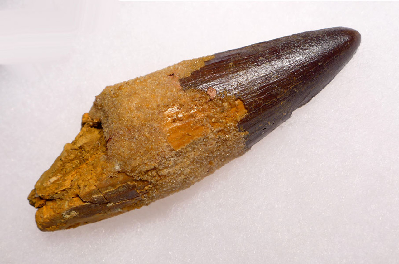 DT5-238 - 3.5 INCH FOSSIL SPINOSAURUS TOOTH WITH SHARP TIP FROM A VERY LARGE DINOSAUR