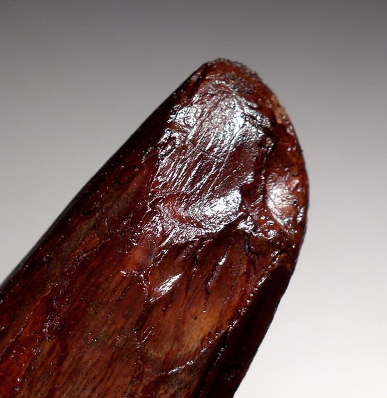 DT5-255 - 3 INCH UNBROKEN SPINOSAURUS DINOSAUR TOOTH WITH WINE RED ENAMEL