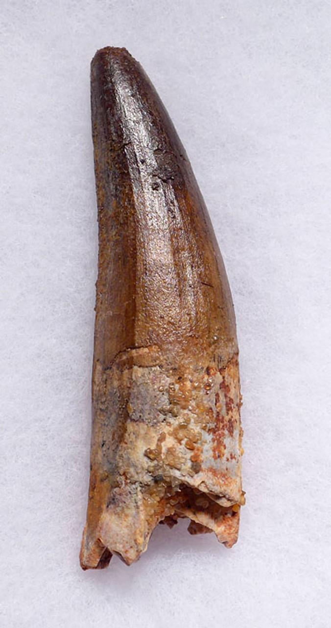 DT5-253 - FINE GRADE 3.25 INCH SPINOSAURUS DINOSAUR FOSSIL TOOTH