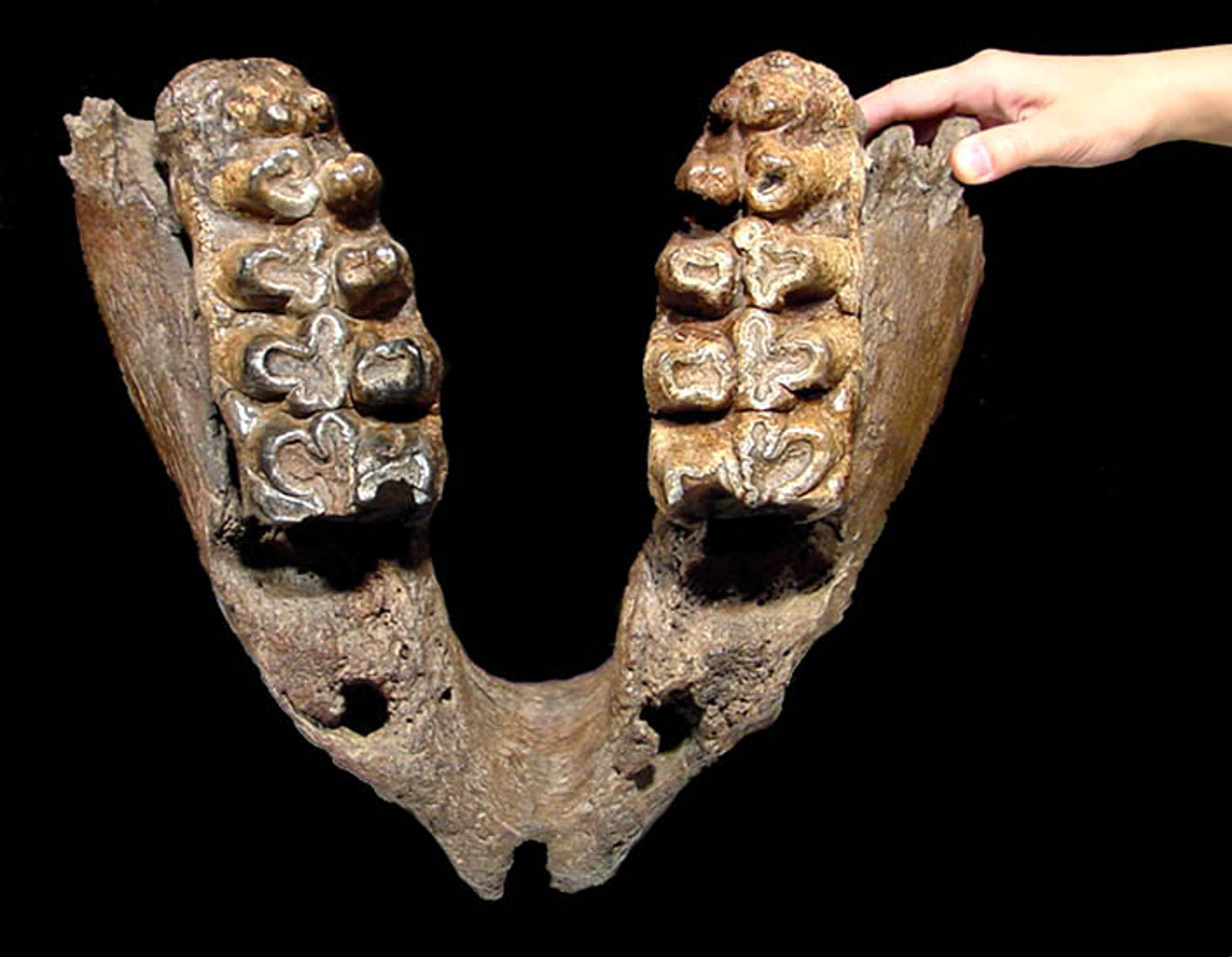 LM60-001  - RARE  ELDERLY PLIOCENE GOMPHOTHERE JAW WITH ORIGINAL FINAL MOLAR SET PRIOR TO DEATH