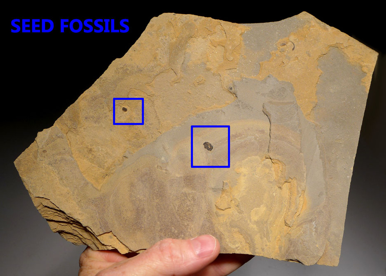 PL135 - LARGE PERMIAN WALCHIA FOSSIL PLANT AND SEEDS FROM BEFORE THE DINOSAURS